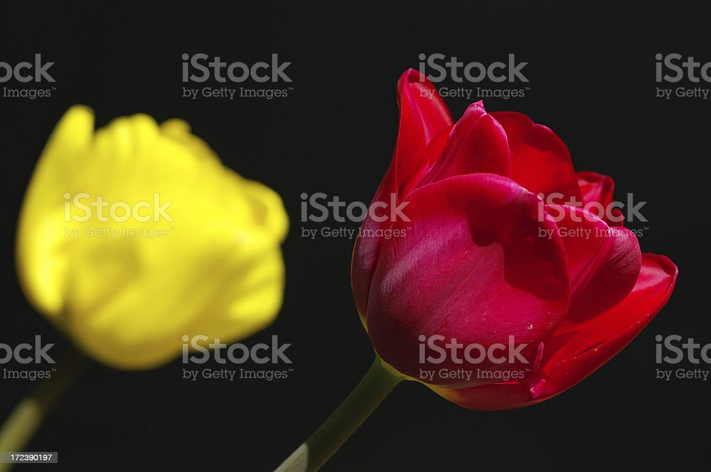 Red and yellow tulip royalty-free stock photo