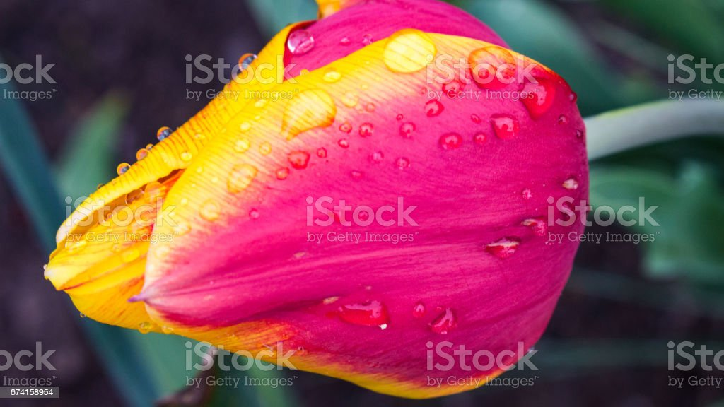 Red and Yellow Tulip stock photo