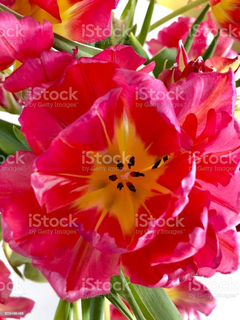 Red and yellow tulips close-up stock photo