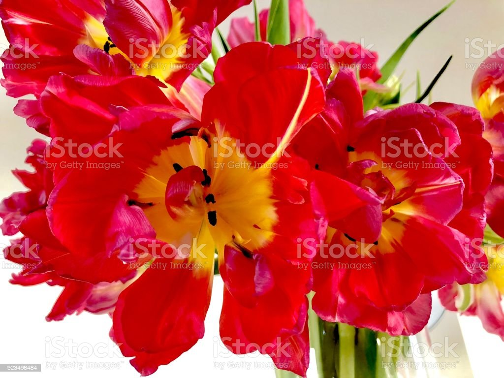 Red and yellow tulips in a glass vase stock photo
