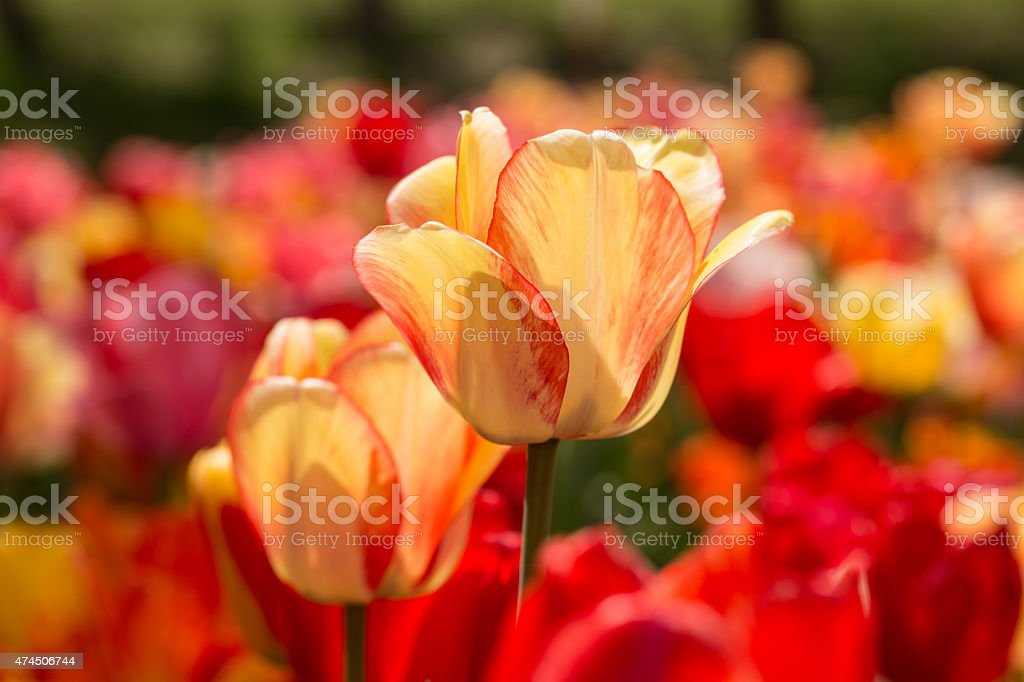 Red and Yellow Tulips in Field in Michigan in Spring stock photo