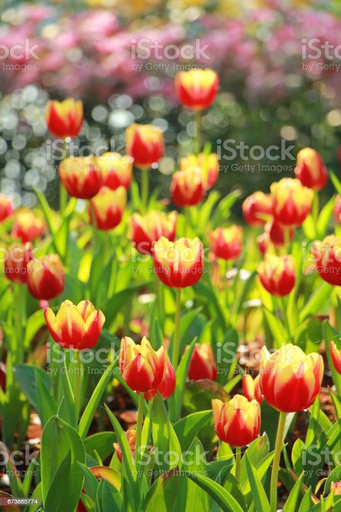 Red and yellow tulips in the garden royalty-free stock photo
