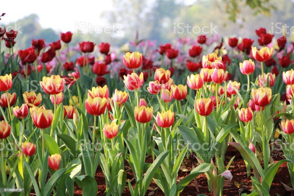Kırmızı ve Sarı Lale bahçesinde royalty-free stock photo