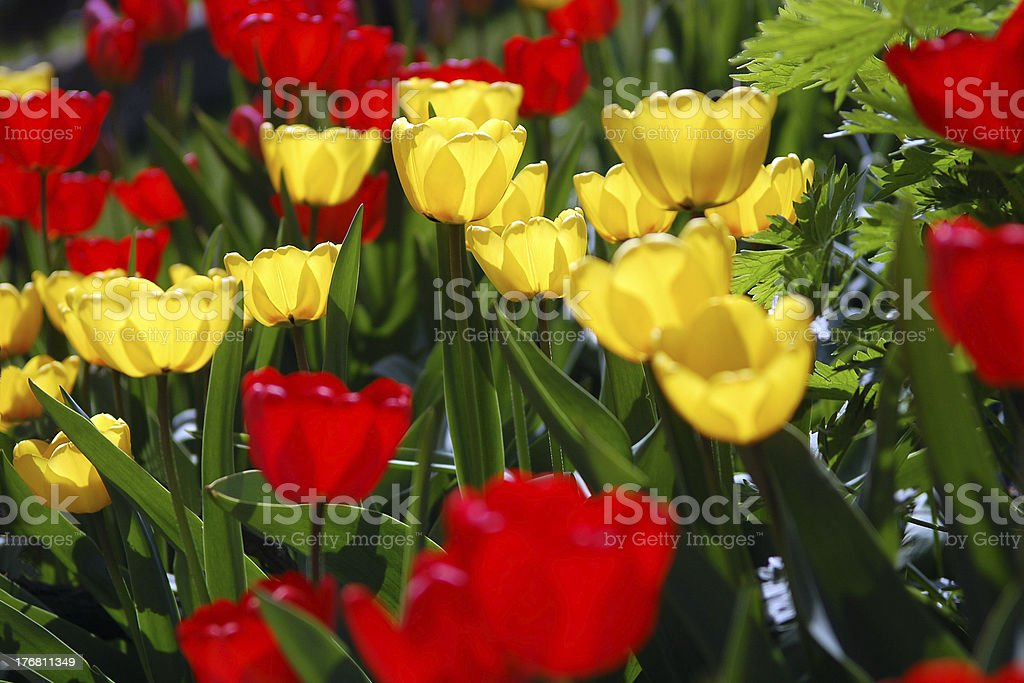 Red and yellow tulips patch stock photo