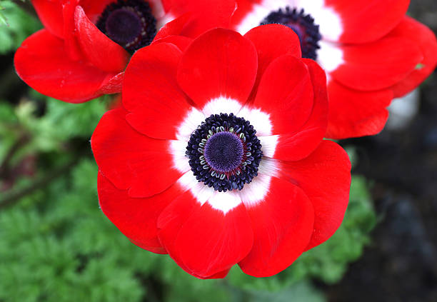 red Anemone coronaria flower red white red Anemone coronaria flower red white sea anemone stock pictures, royalty-free photos & images