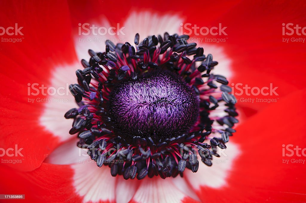 Red anemone poppy royalty-free stock photo