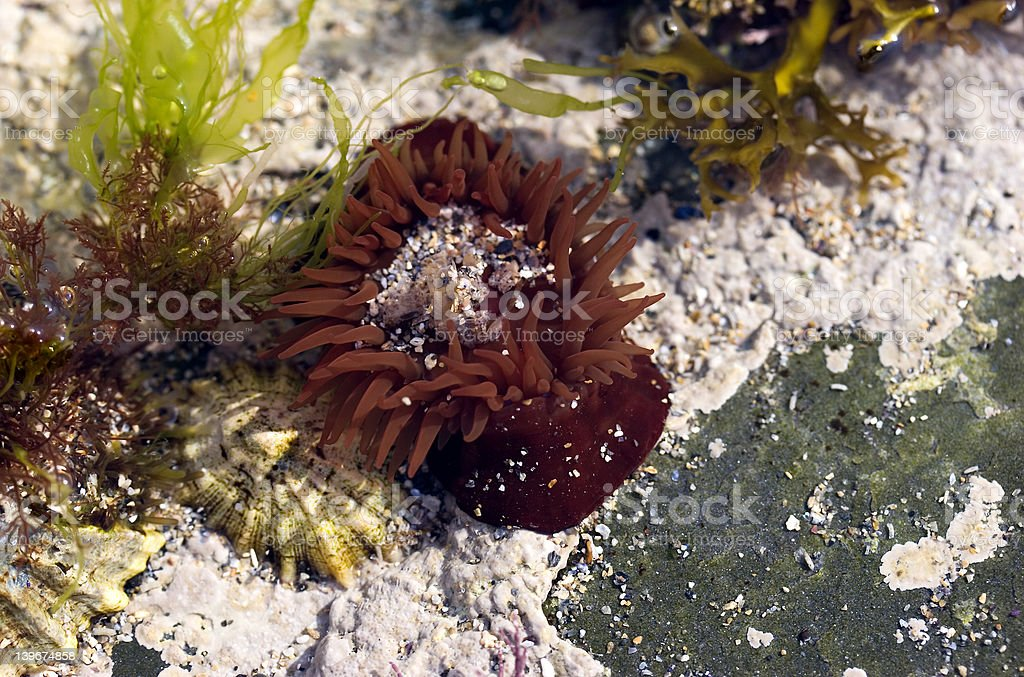 Red Anemone Underwater royalty-free stock photo