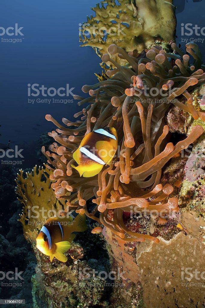 Red Anemone with Anemonefish stock photo