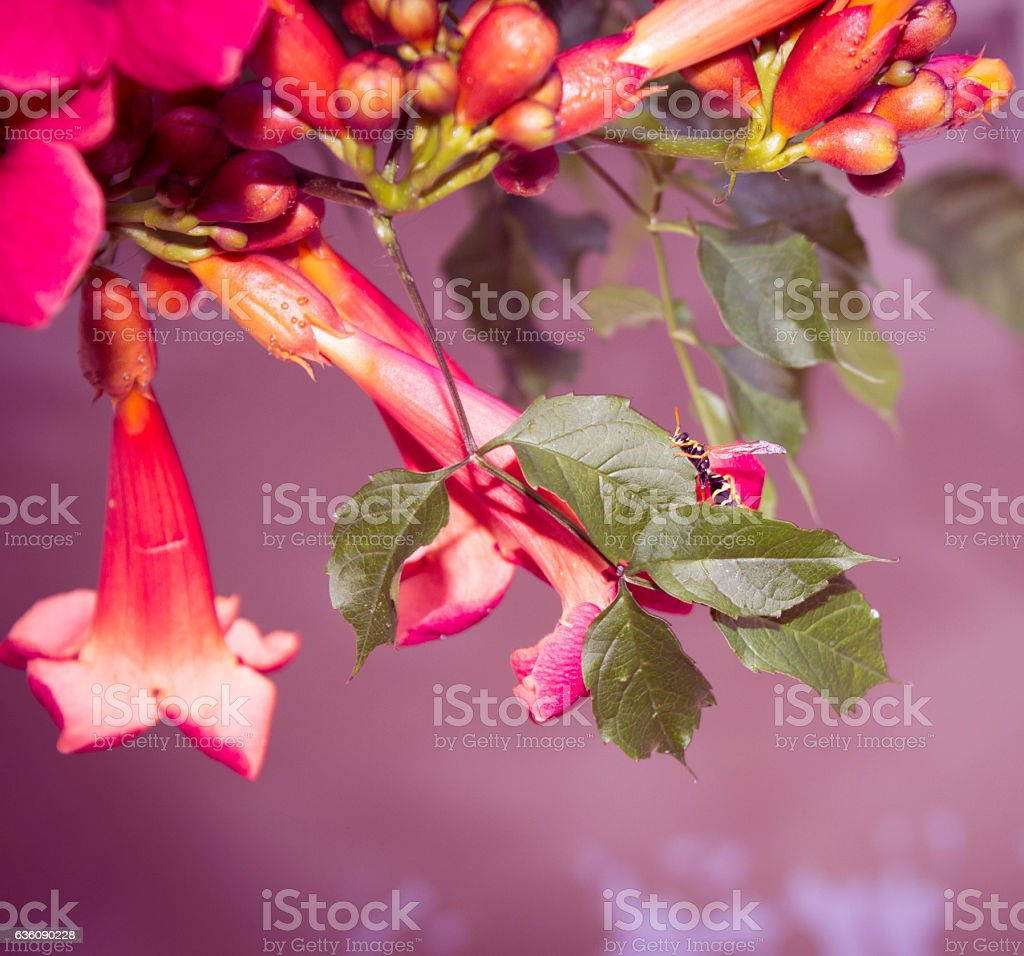 Red Angel's Trumpet stock photo