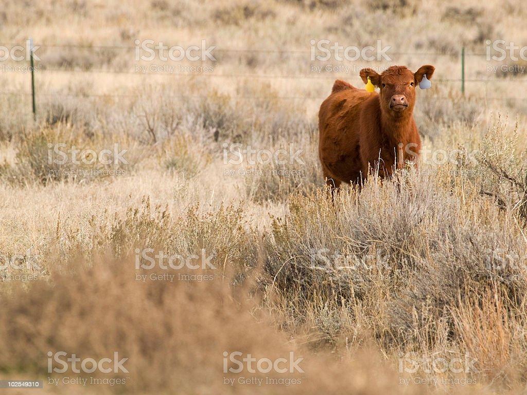 Red Angus calf royalty-free stock photo