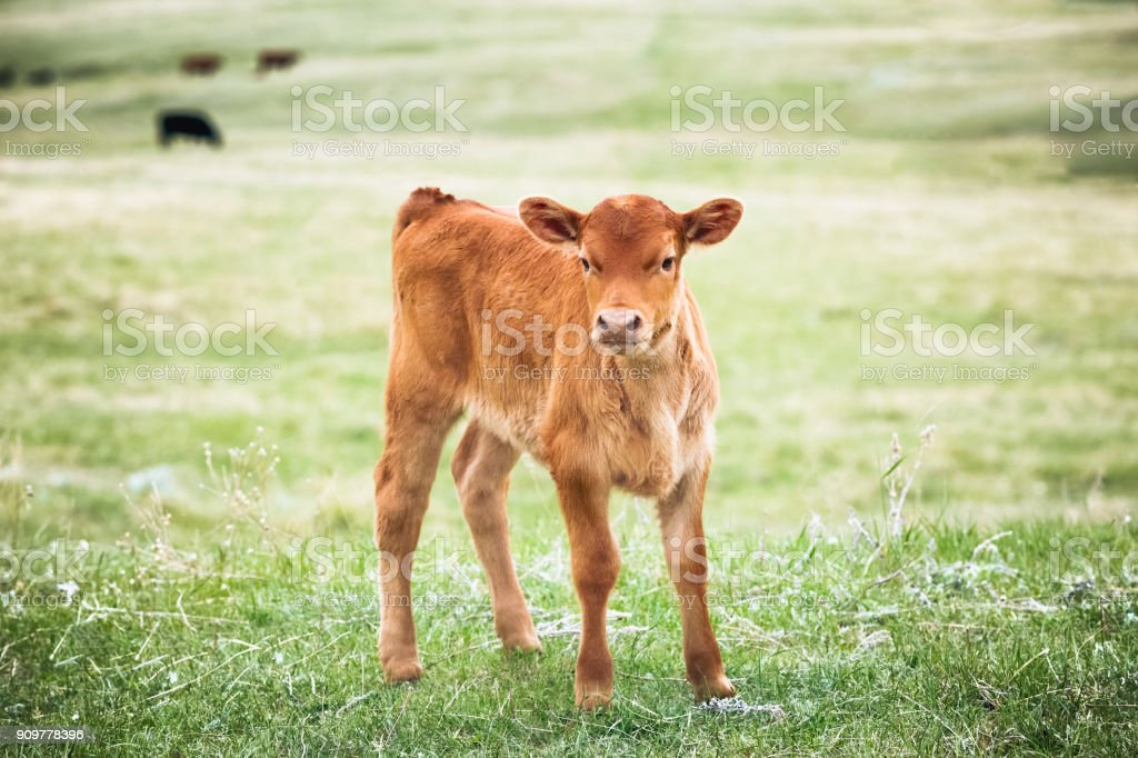 Red Angus calf standing in green grass of a Montana ranch pasture stock photo