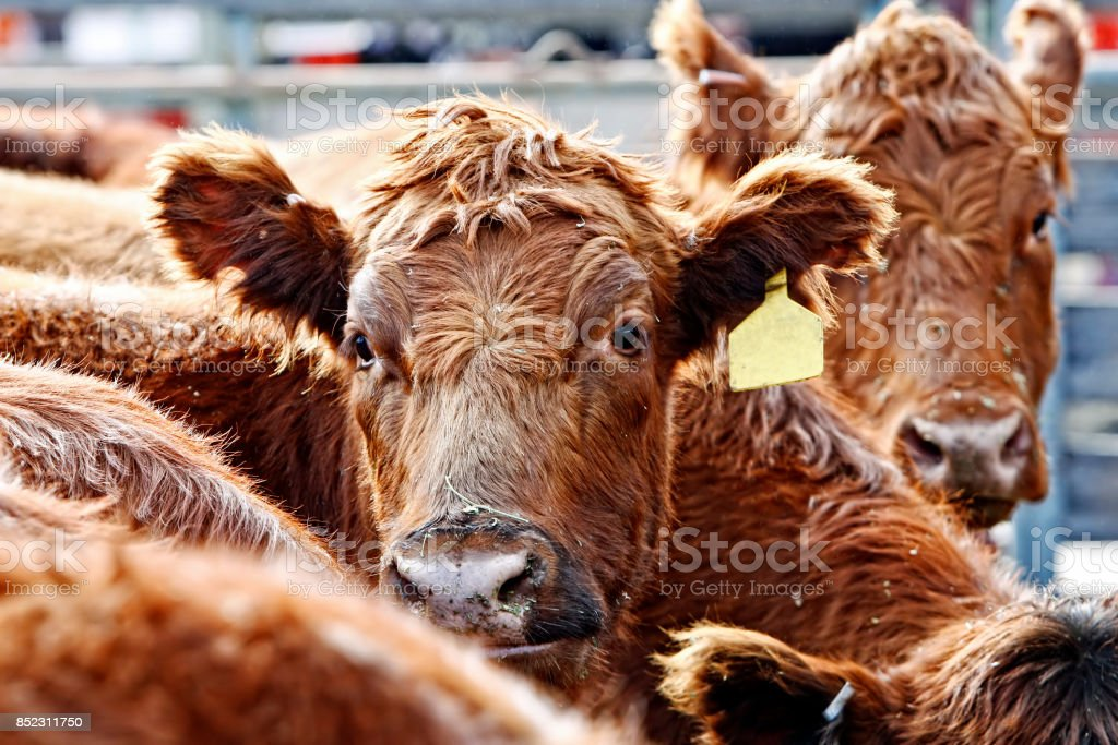 Red Angus Cattle During Feeding Time stock photo