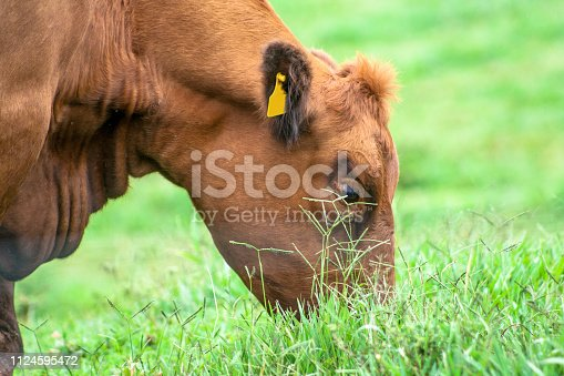 Red angus Cattle in pasture in Brazil