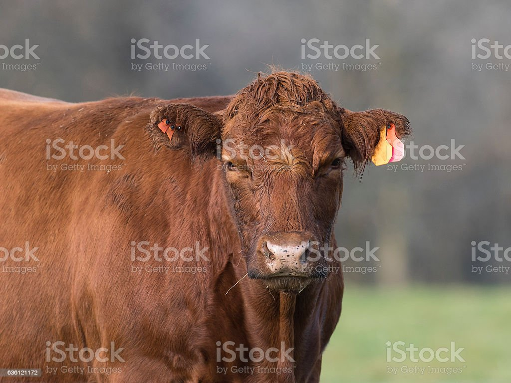 Red Angus Cow stock photo