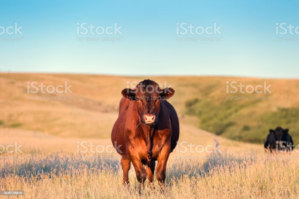 Red Angus cow standing in golden grass on a Montana ranch looking toward camera view. stock photo
