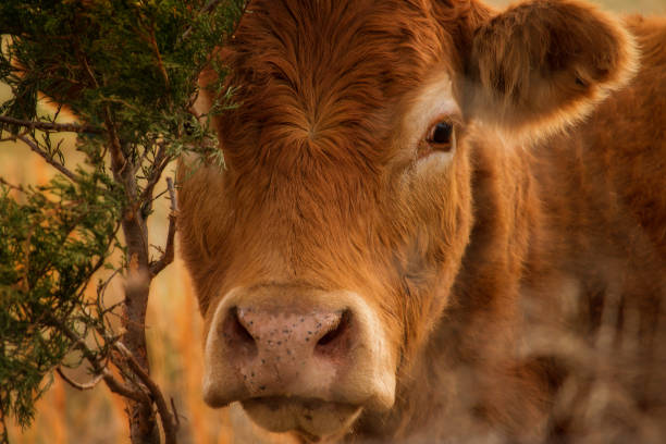 red angus head - animal body part stock pictures, royalty-free photos & images