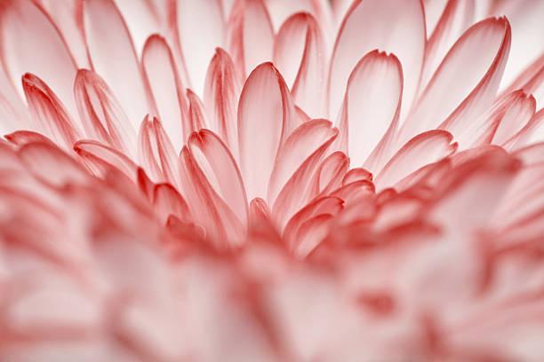 red annealed Chrysanthemum stock photo