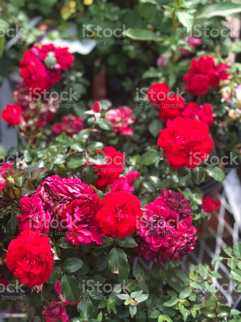 red annual flowers stock photo