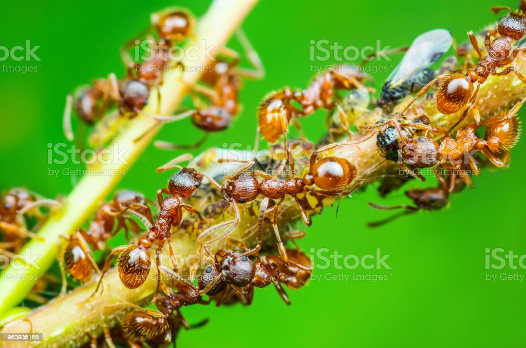 Red Ant and Aphid Colony on Twig - Royalty-free Agriculture Stock Photo