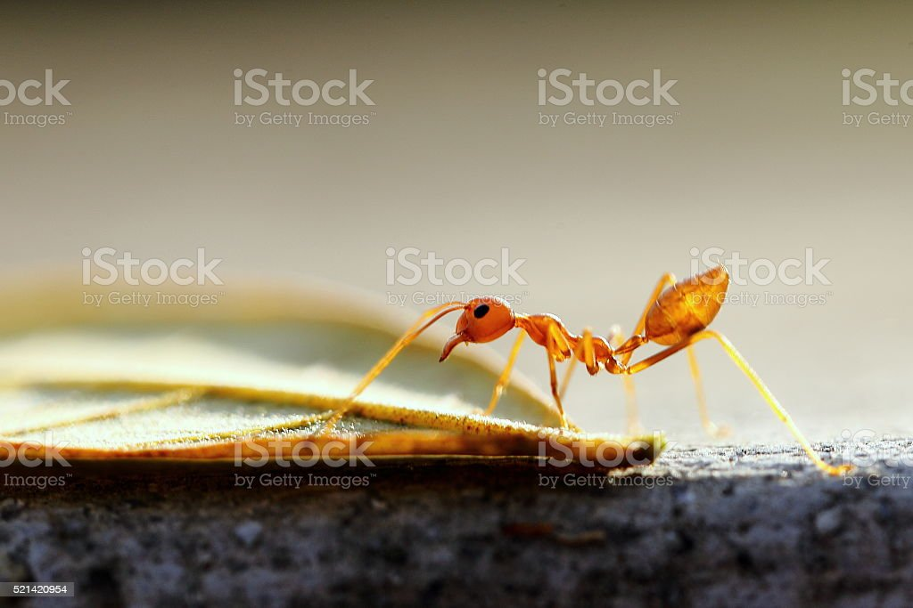 Red Ant and Leaf stock photo