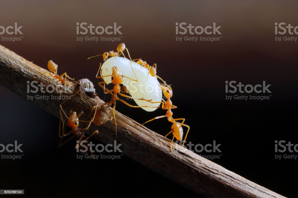Red Ant and the egg in Southeast Asia. stock photo