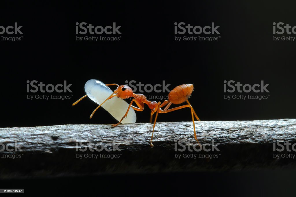 Red Ant and the Egg. stock photo