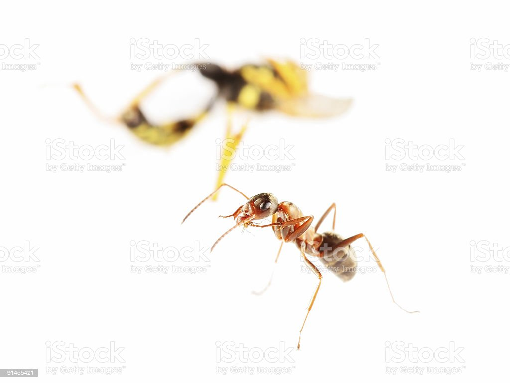 Red ant and wasp stock photo