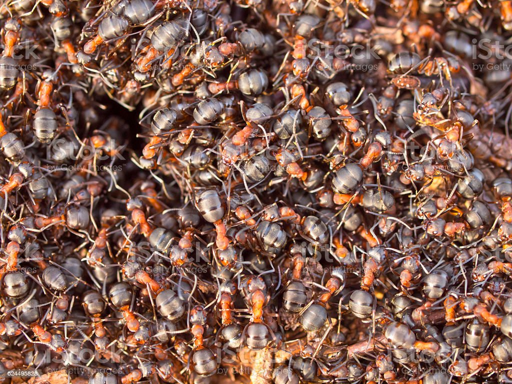 Red Ant colony stock photo