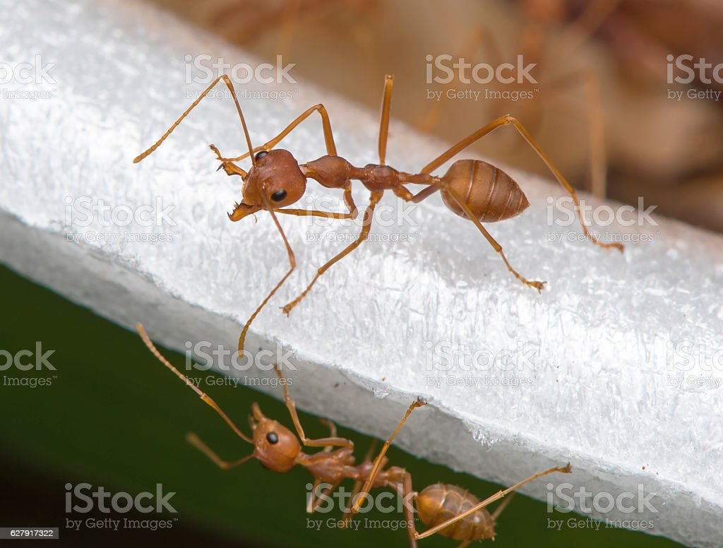 Red Ant stock photo
