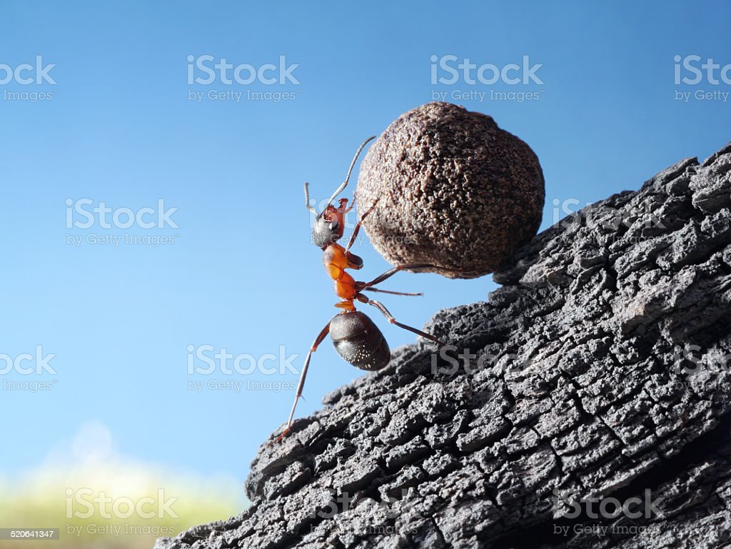 red ant rolls stone uphill stock photo