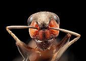 istock Red ant under microscope portrait, isolated on black background 1271369124