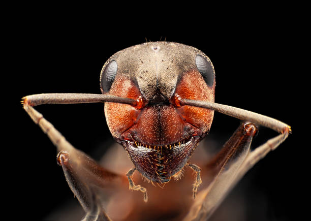 Red ant under microscope portrait, isolated on black background stock photo