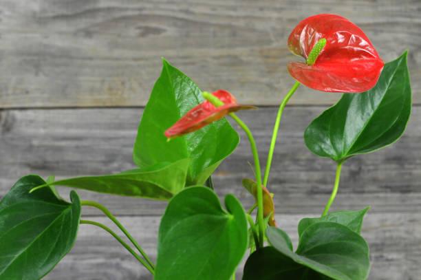 Rote Anthurium Blume auf Holzhintergrund – Foto