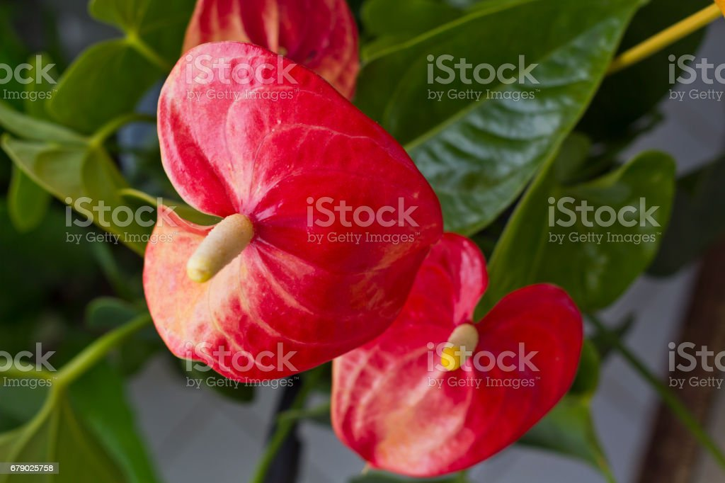 Red Anthurium Flower stock photo