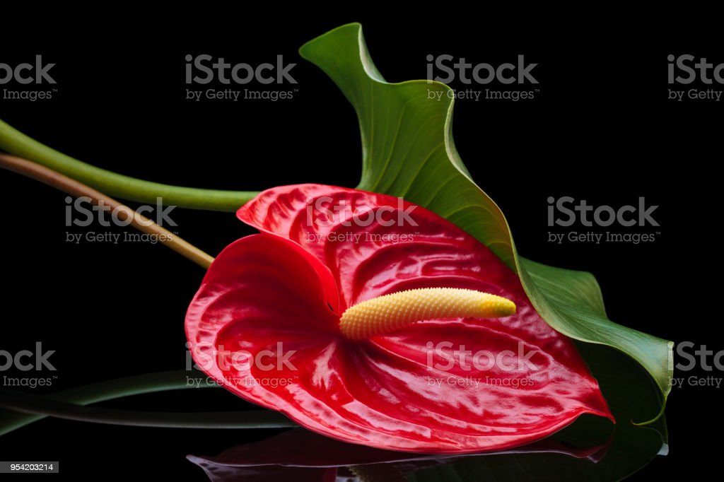 Red Anthurium on black. stock photo