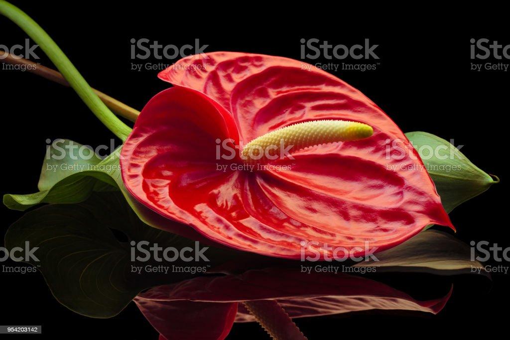 Red Anthurium. stock photo