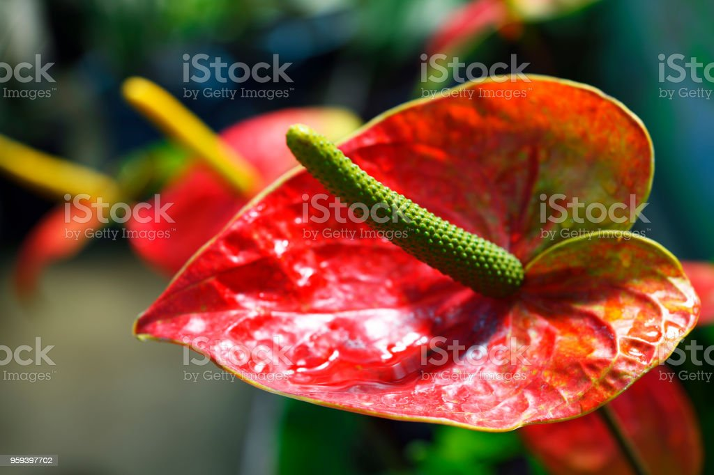 Red Anthurium with shallow depth of field stock photo