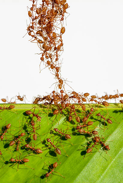 red ants build a bridge - ants working together stock photos and pictures