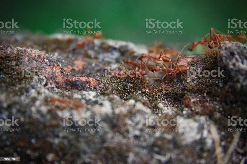 Red Ants on a stone stock photo