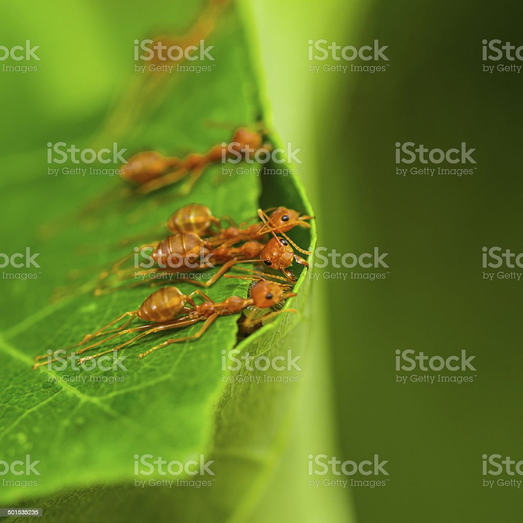 Red ants. stock photo