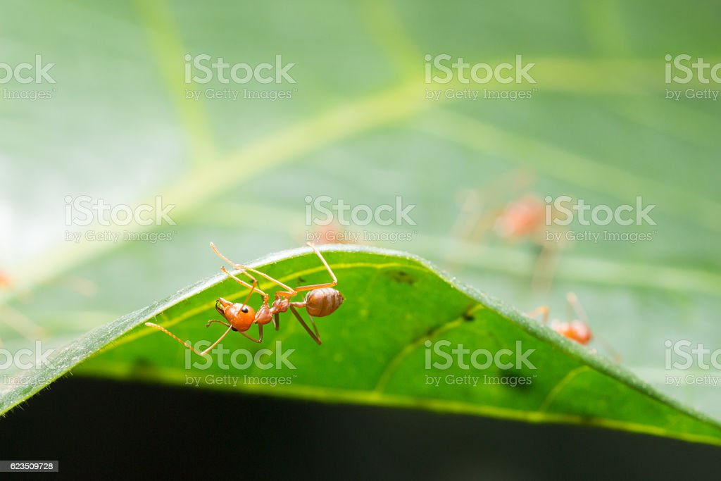 Red ant,Weaver Ants (Oecophylla smaragdina),Action of ant stock photo