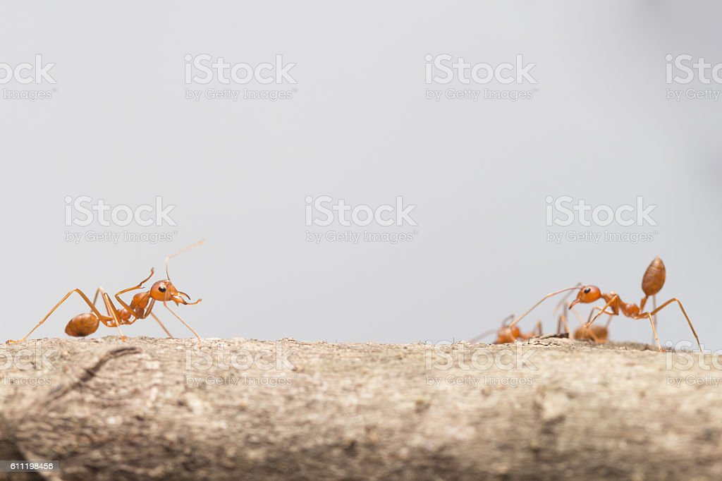 Red ant,Weaver Ants (Oecophylla smaragdina) stock photo
