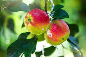 Fruits of red apple in the droplets of dew on the tree.  Summer concept.