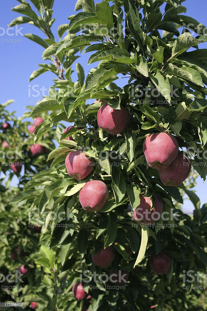 Red apple crop stock photo