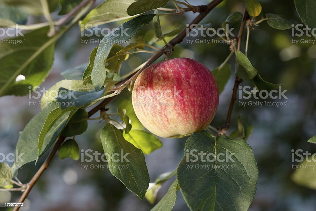 Red apple growing on tree royalty-free stock photo