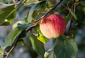 Red apple growing on tree