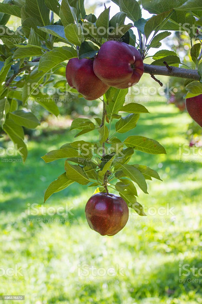 Red Apple Hanging from a Branch Red apple hanging from a branch with a cluster of apples above it. 2015 Stock Photo