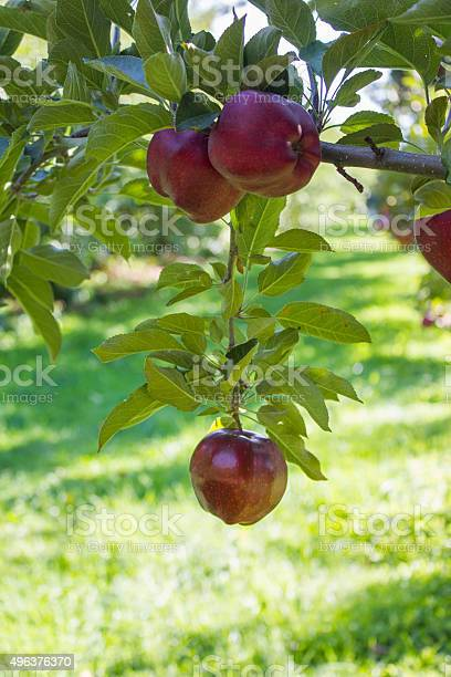 Red Apple Hanging From A Branch Stock Photo - Download Image Now