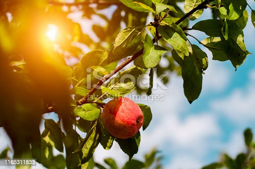 A red Apple hangs on an Apple tree branch. Sun ray. Village harvest. Delicious Apple