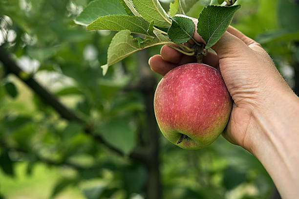 red apple harvest time - picking stock photos and pictures